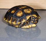 Baby Redfoot Tortoise  - I'm Shy