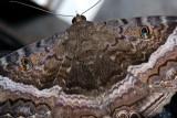 Black Witch  Moth - Ascalapha odorata