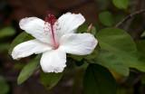 Native White Hibiscus