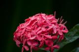 Pink Ixoria