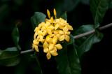 Yellow Ixoria