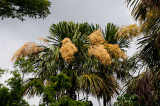 Flowering Palms