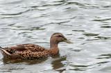 Mallarad Duck