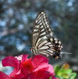 Swallowtail Xanthus