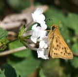Lantana Moth