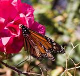 Monarch - Home Grown