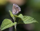 Lantana Butterfly - Strymon bazochii