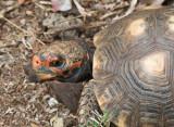 Tortoise - Rudy