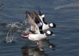 Bufflehead ducks...the get away