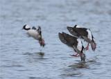 Buffles landing