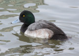 Greater Scaup male