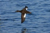 Whitewinged Scoter