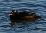 White Winged Scoter Male