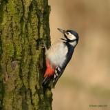 woodpeckers and wryneck.... spechten en draaihals