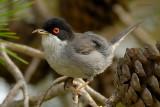 shrikes, crows, starlings and sparrows.... klauwieren, kraaien, spreeuwen en mussen