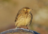 Buff-bellied Pipit ( Hedpiplärka )