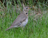Song Thrush ( Taltrast )