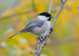 Willow Tit (Talltita )