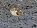 Little Stint ( Småsnäppa )