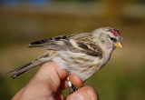 Common Redpoll ( Gråsiska )