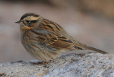Black-throated Accentor ( Svartstrupig Järnsparv )