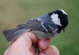 Coal Tit ( Svartmes )