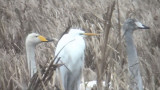 Great Egret (Ägretthäger )