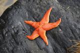 Sjöstjärna vid Pomes Bay