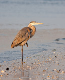 Great Blue Heron in Late Day Light...
