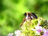 Bumble Bee & Milk Weed Bugs
