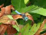 Dragon Fly - Blue Dasher