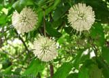 Buttonbush Flowers