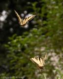 Tiger Swallowtail Butterflies, Mating Dance