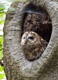 Birds: Owls