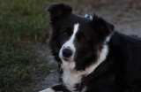 Moni, a 4 Year old Border Collie