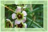 Australien Waxflower