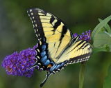 8/2/06 - Eastern Tiger Swallowtail