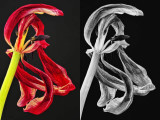 3/8/08 - Tulip Color vs. B&W