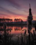 2/08 - Sunrise Cattail