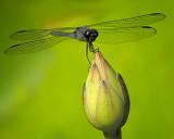 2/08 - Dragonfly & Lotus Bud