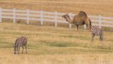 zz2 P1060594 Camel and zebras at Triple B Ranch near Kalispell Montana.jpg