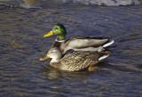 z P1070060 Ducks in Golf Course Creek Estes Park.jpg