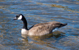 z P1070127 Canada Goose Branta canadensis Lake Estes .jpg