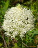 Bear grass bloom by Belton Stage Road - P1080657