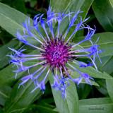 Batchelor button bloom at SanSuzEd - s90 - IMG_0315
