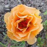 z IMG_0352 Garden flower at SanSuzEd.jpg