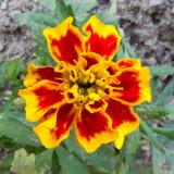 z IMG_0355 Garden flower at SanSuzEd.jpg