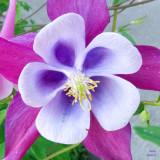 z IMG_0357 Garden flower at SanSuzEd.jpg