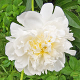 z IMG_0505 White peony at SanSuzEd.jpg