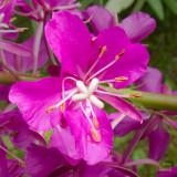 z IMG_0516 Fireweed bloom - Epilopbium angustifolium.jpg